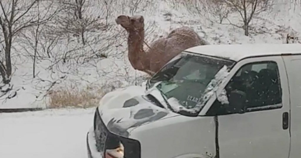 camel and van in snow
